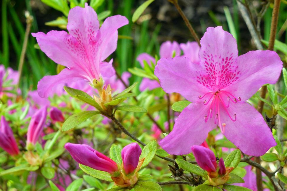 Download Free Stock HD Photo of Azalea In Bud And Bloom Online