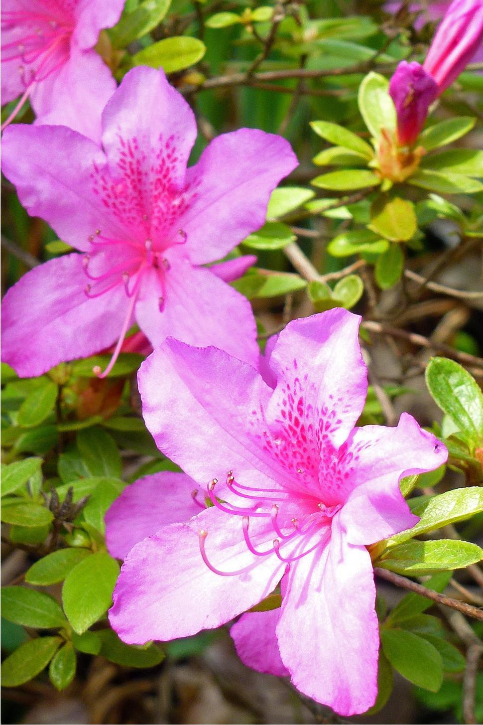 Download Free Stock HD Photo of Azaleas Flowers In Bllom Closeup  Online