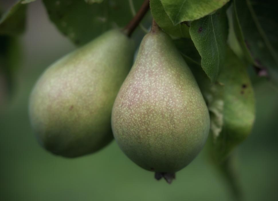 Download Free Stock HD Photo of Pears Online
