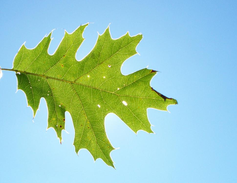 Download Free Stock HD Photo of Oak Leaf Online