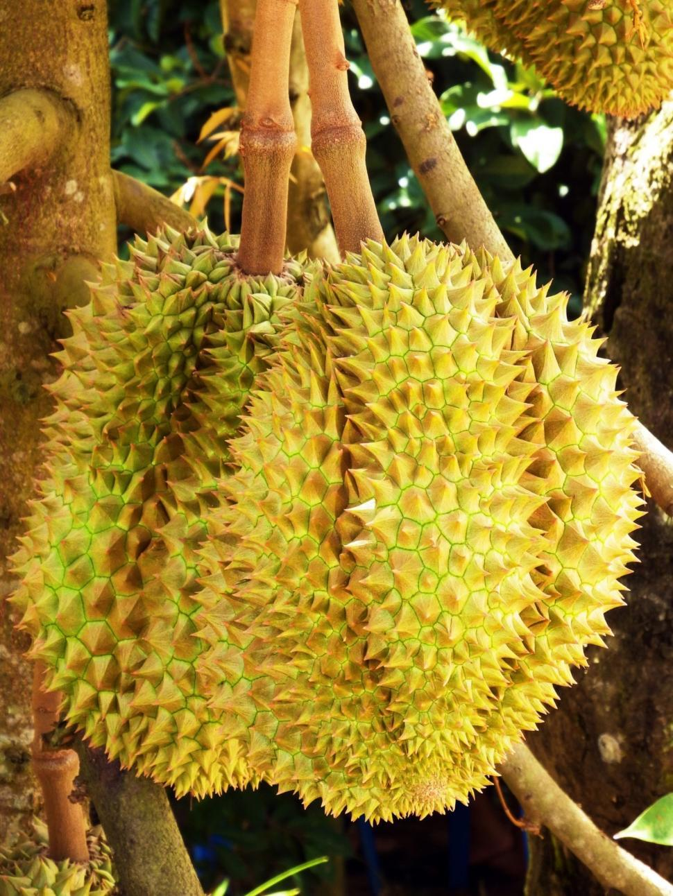 Download Free Stock HD Photo of Durian Fruit Tree Online