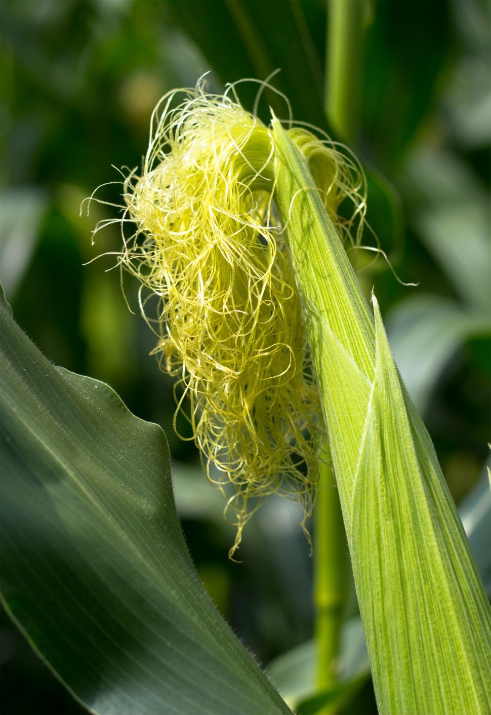 Download Free Stock HD Photo of Growing corn Online