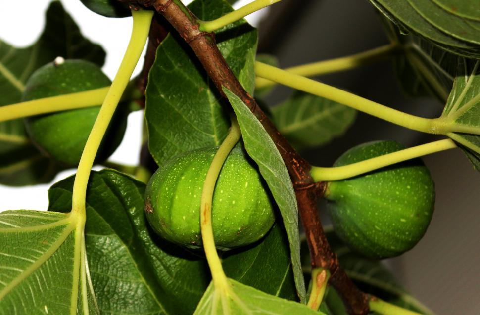 Download Free Stock HD Photo of Figs on the tree - Ficus carica Online