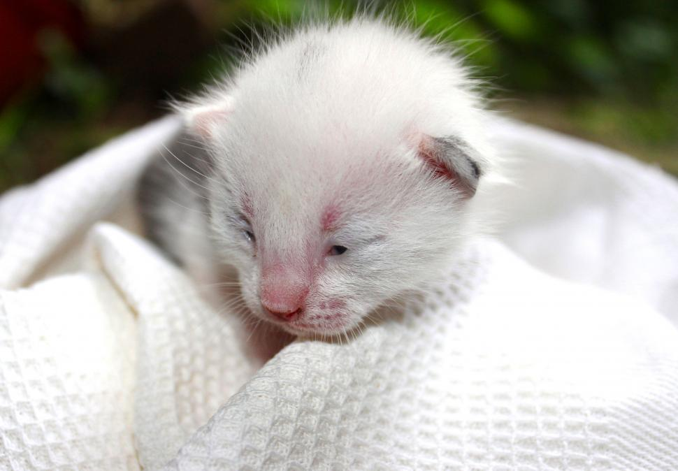Download Free Stock HD Photo of Newborn vulnerable kitten on a white blanket Online