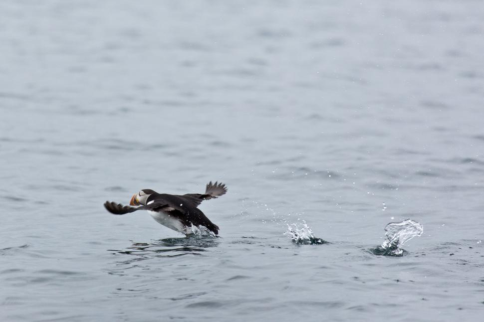 Download Free Stock HD Photo of Puffins Online