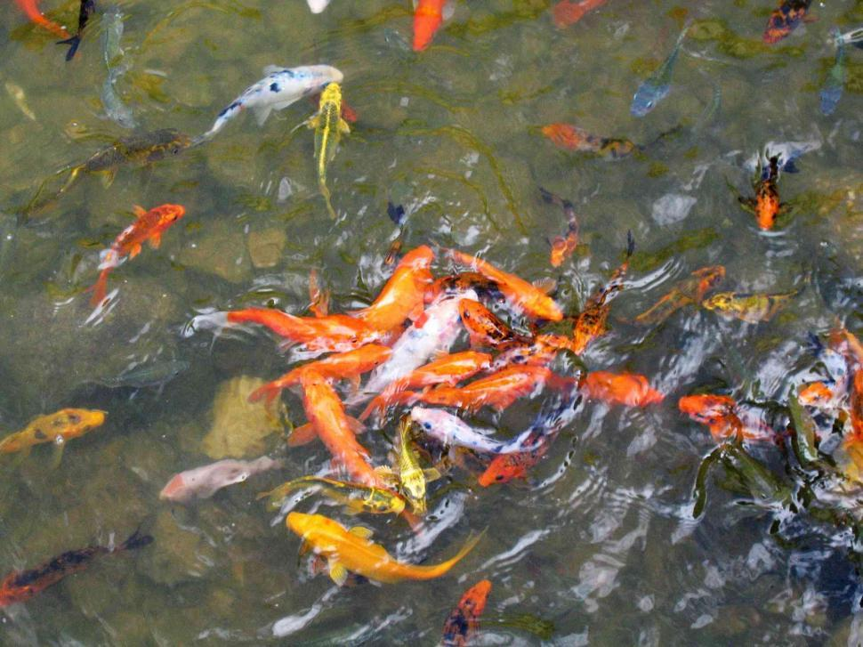 Download Free Stock HD Photo of Koi fishes Online