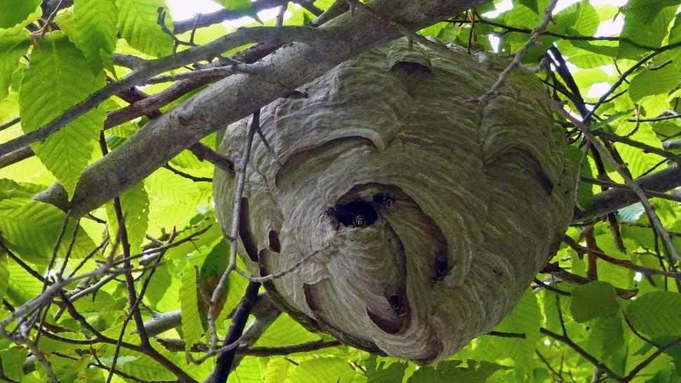 Free image of Wasp nest in the tree.