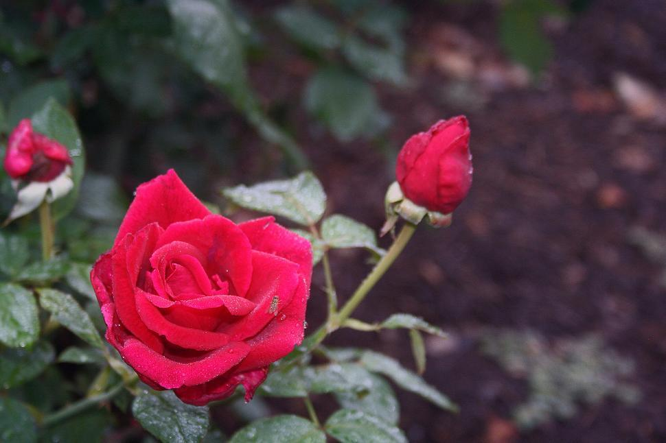 Download Free Stock HD Photo of Red Rose Online