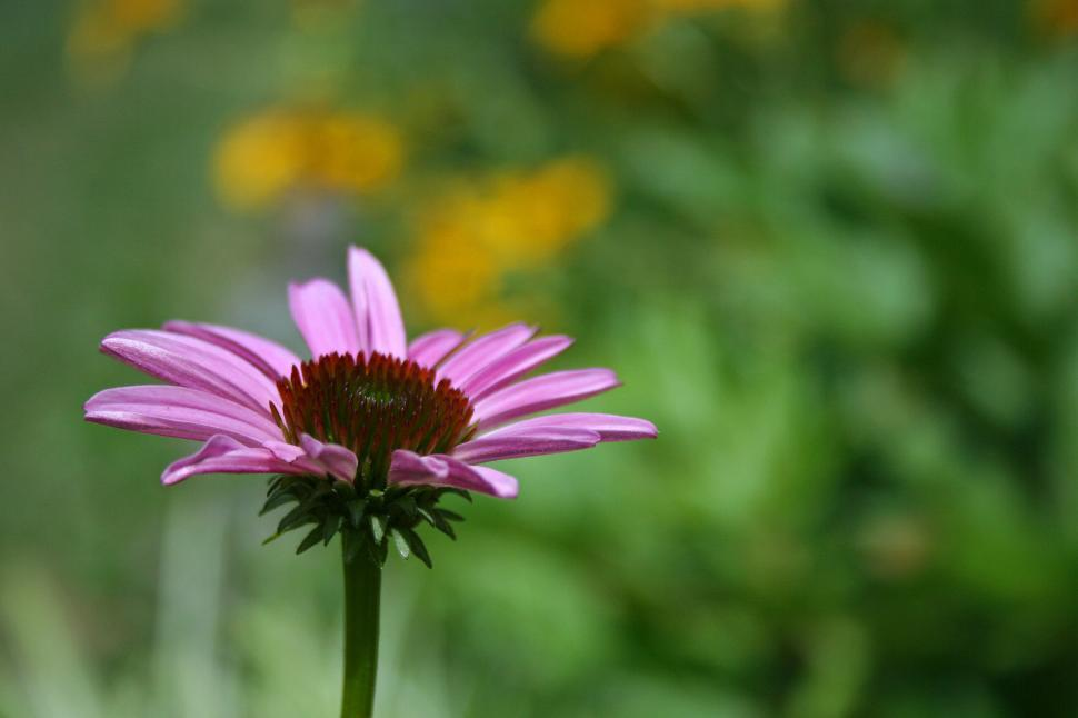 Download Free Stock HD Photo of Purple Coneflower Online