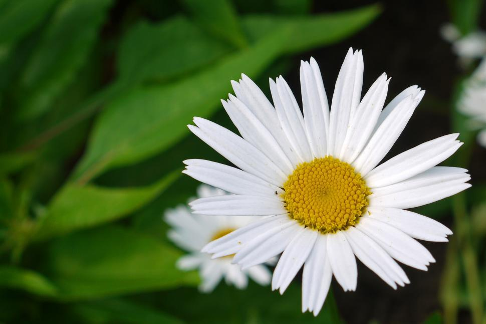 Download Free Stock HD Photo of Daisy Flower Online