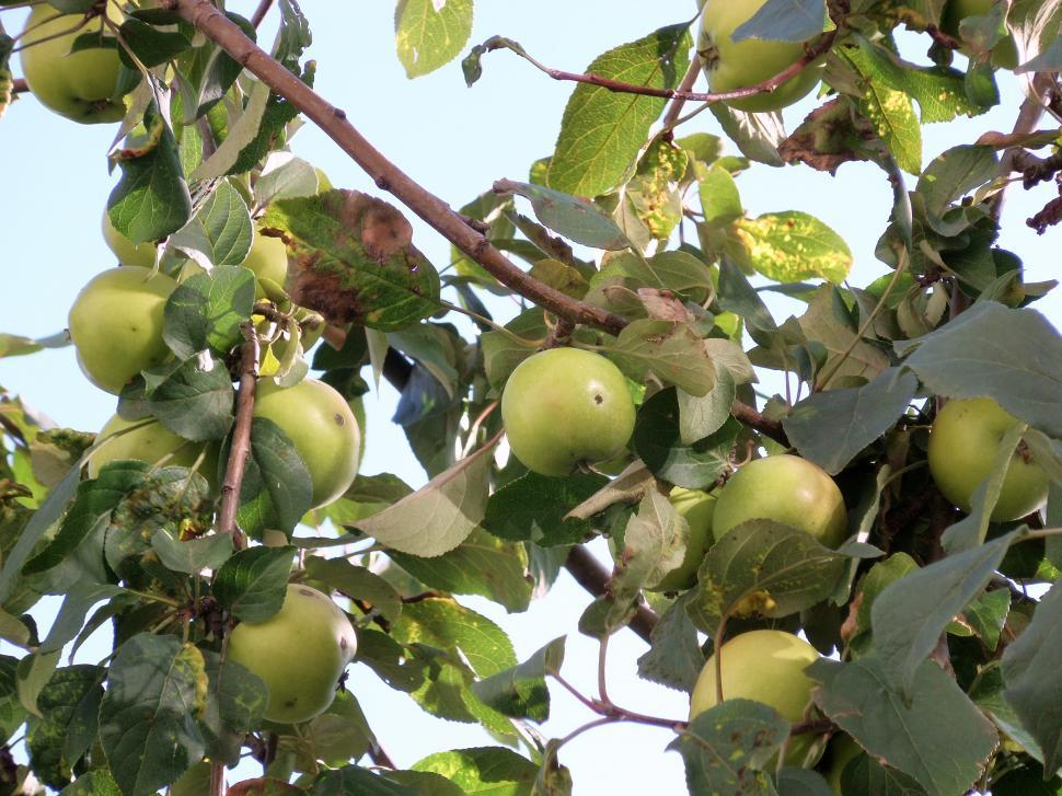 Download Free Stock HD Photo of Ripe green apples on a tree Online