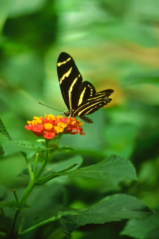 Download Free Stock HD Photo of Zebra Longwing Butterfly Online
