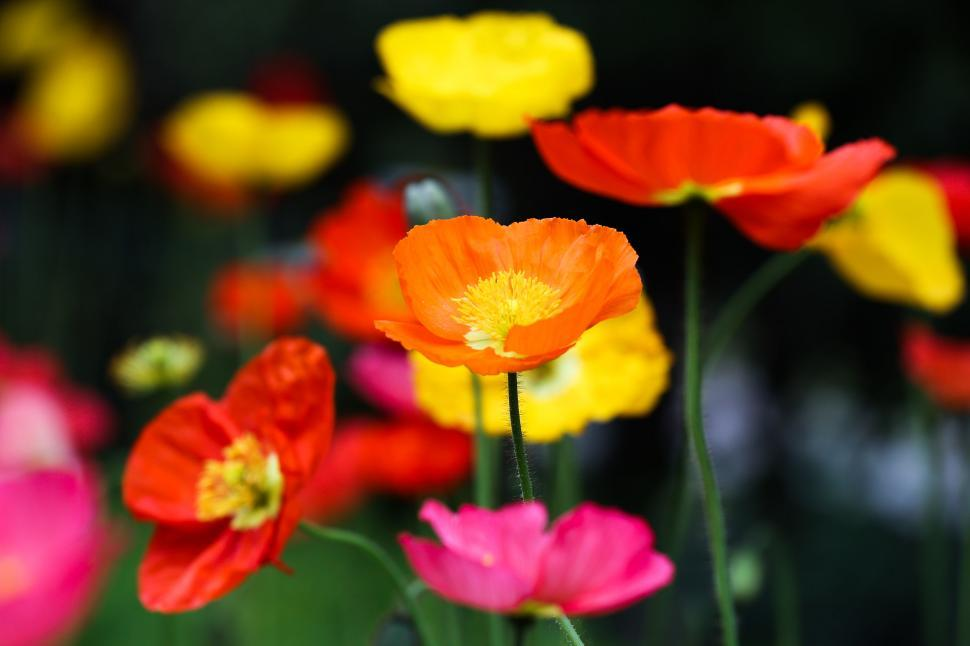 Download Free Stock HD Photo of poppies in bloom Online