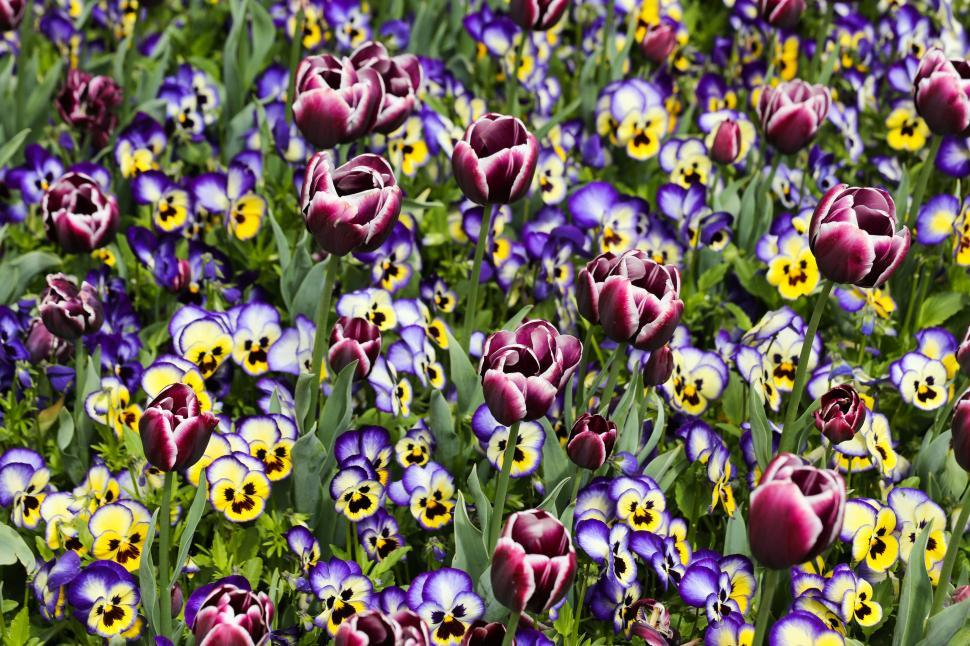 Download Free Stock HD Photo of pansies Online