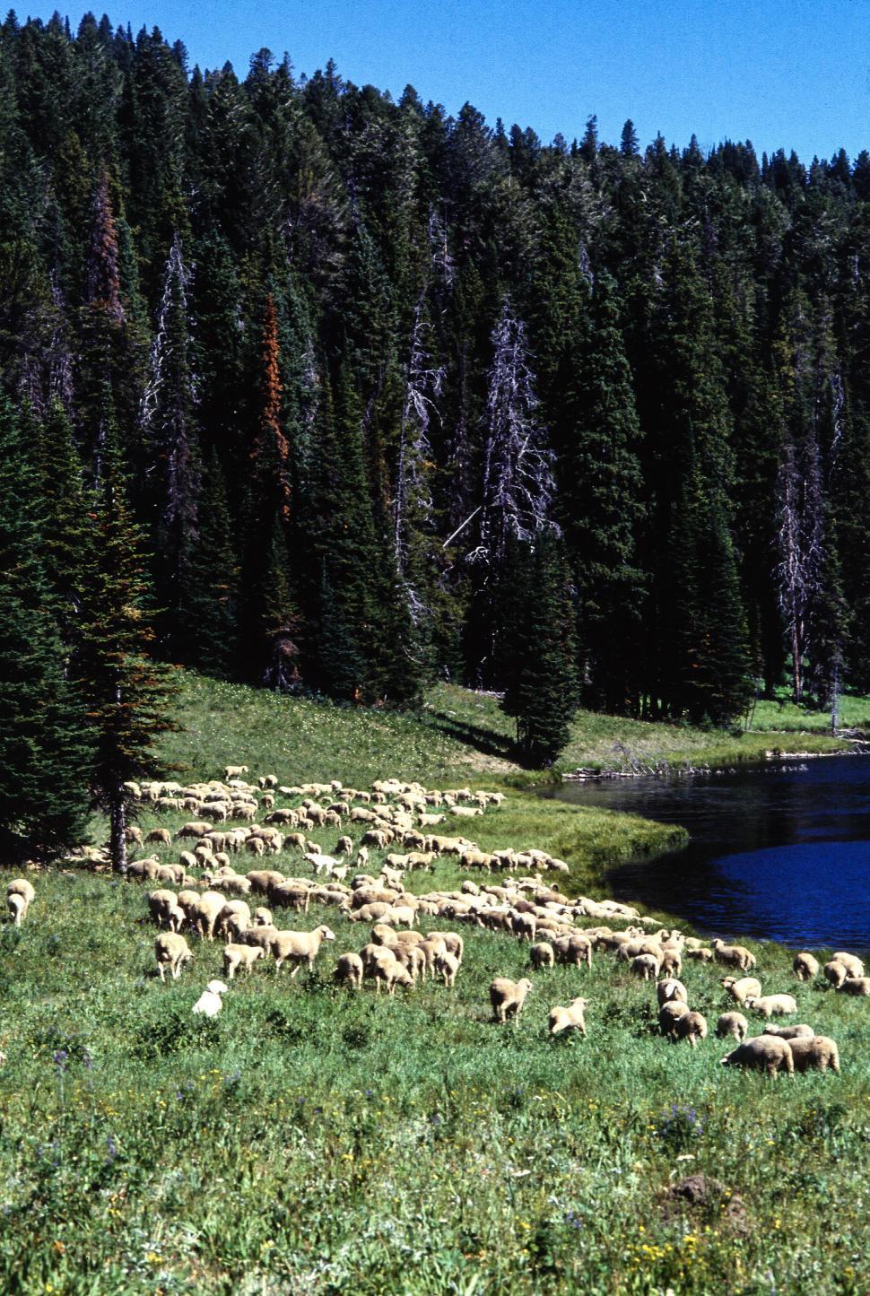 Download Free Stock HD Photo of Sheep Graze Online