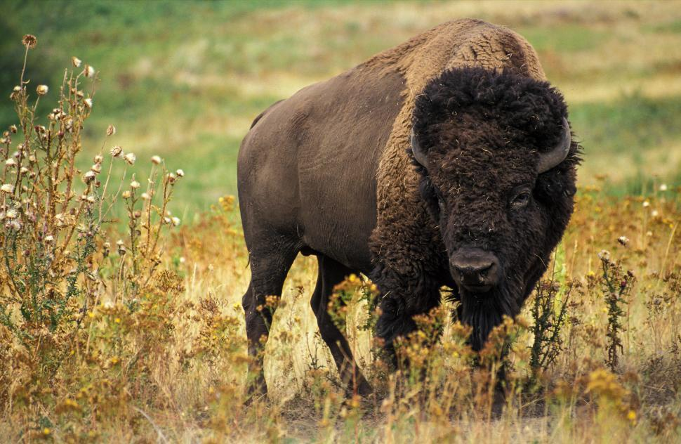 Download Free Stock HD Photo of Bison Online