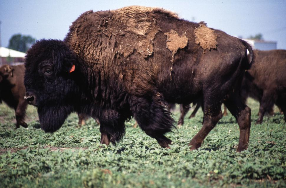 Download Free Stock HD Photo of Bisons Online