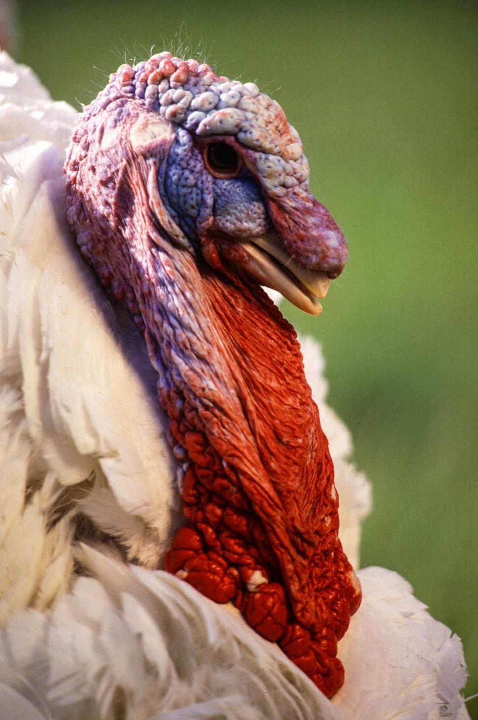 Download Free Stock HD Photo of Midget White Turkey Online