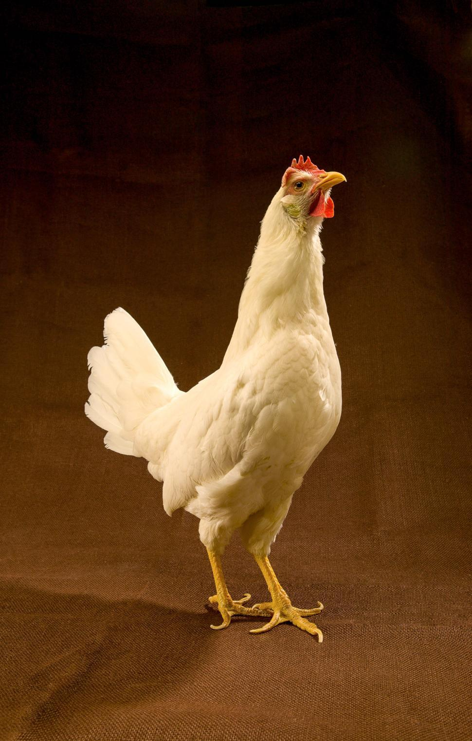 Download Free Stock HD Photo of White Leghorn Hen Online