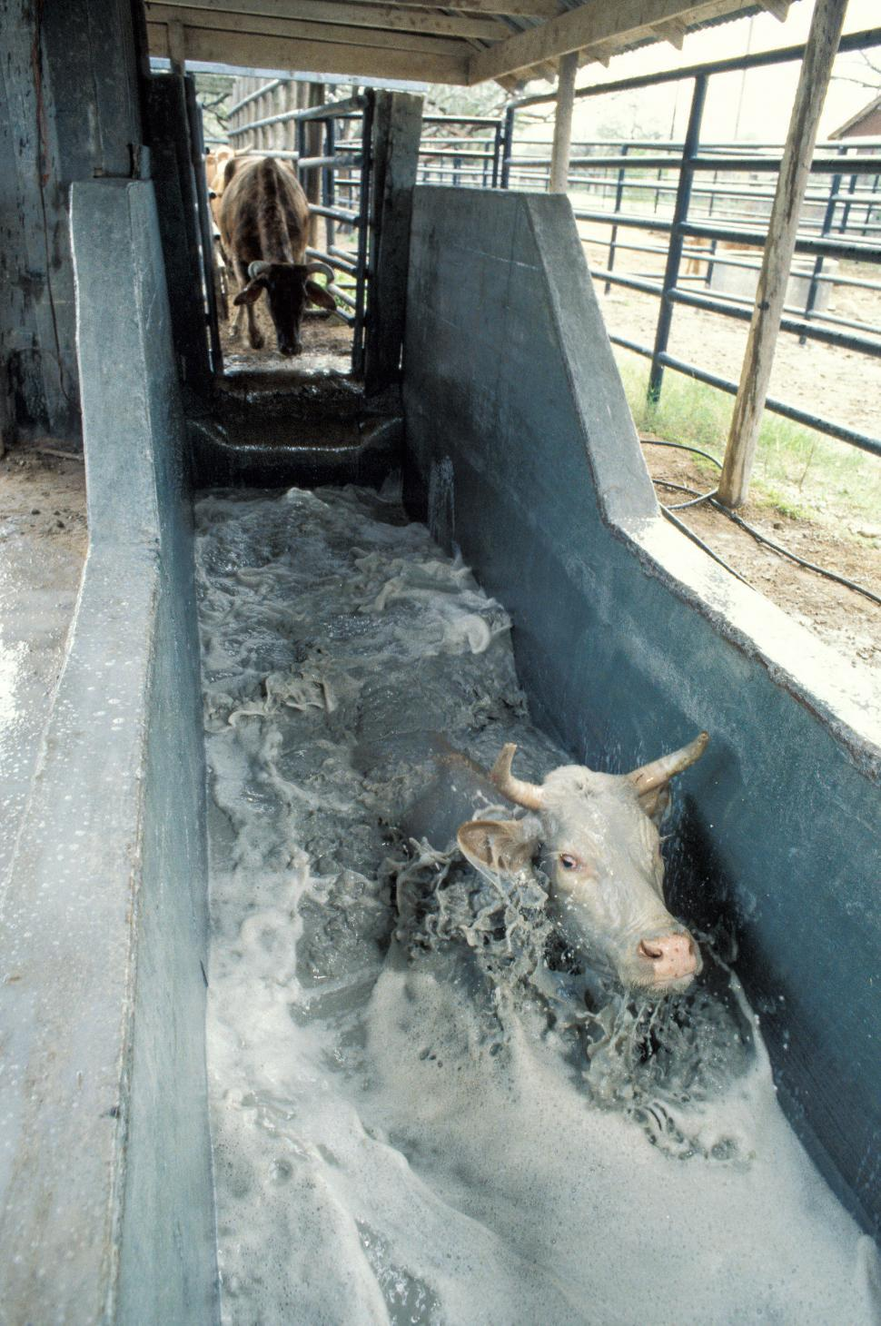 Download Free Stock HD Photo of Cow bathing  Online