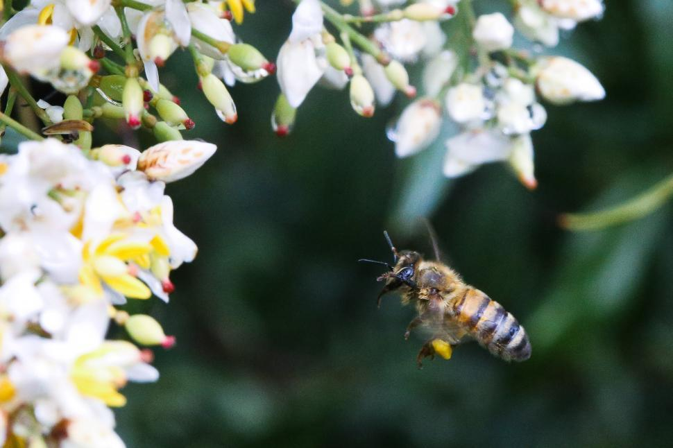 Download Free Stock HD Photo of Honey bee hovering Online