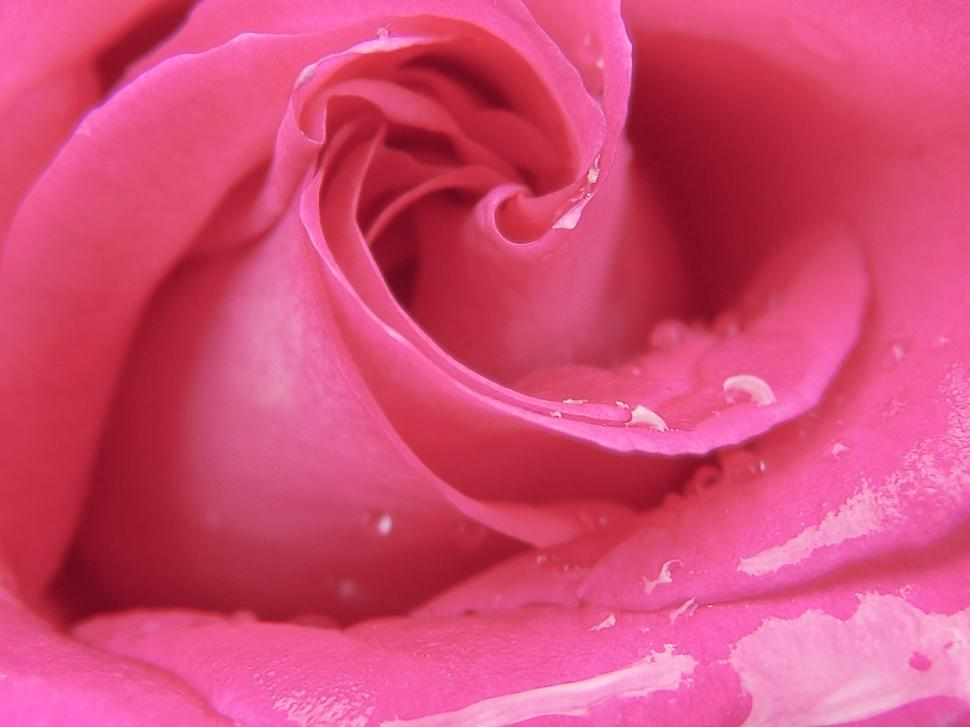 Download Free Stock HD Photo of Water drops on Pink Rose Flower  Online