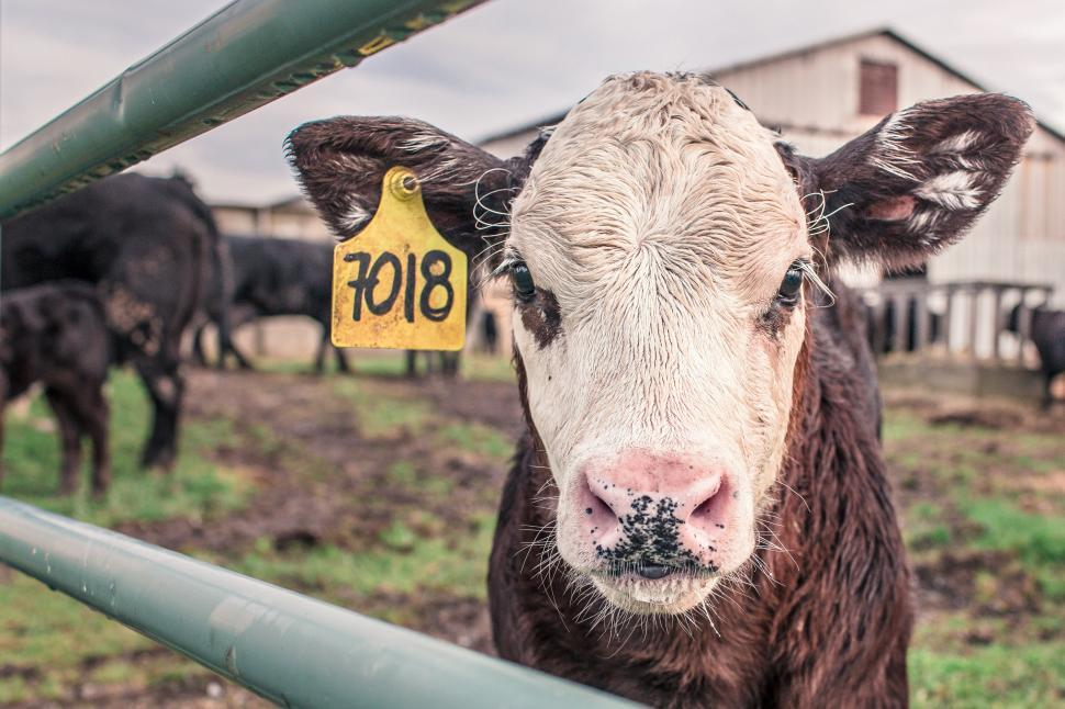 Download Free Stock HD Photo of Hereford Beef Cattle Online