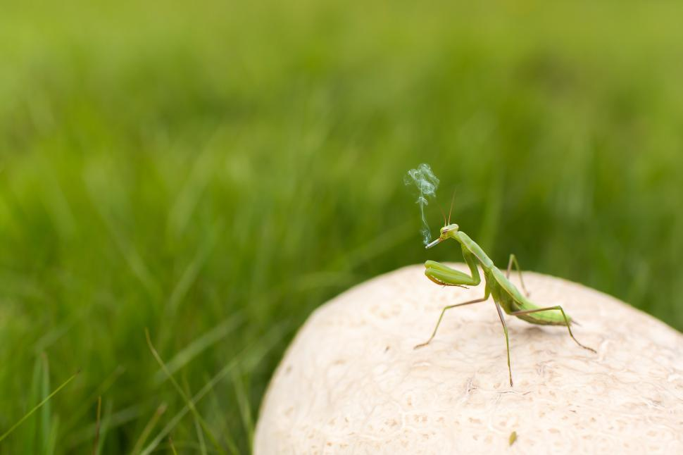 Praying Mantis Smoking