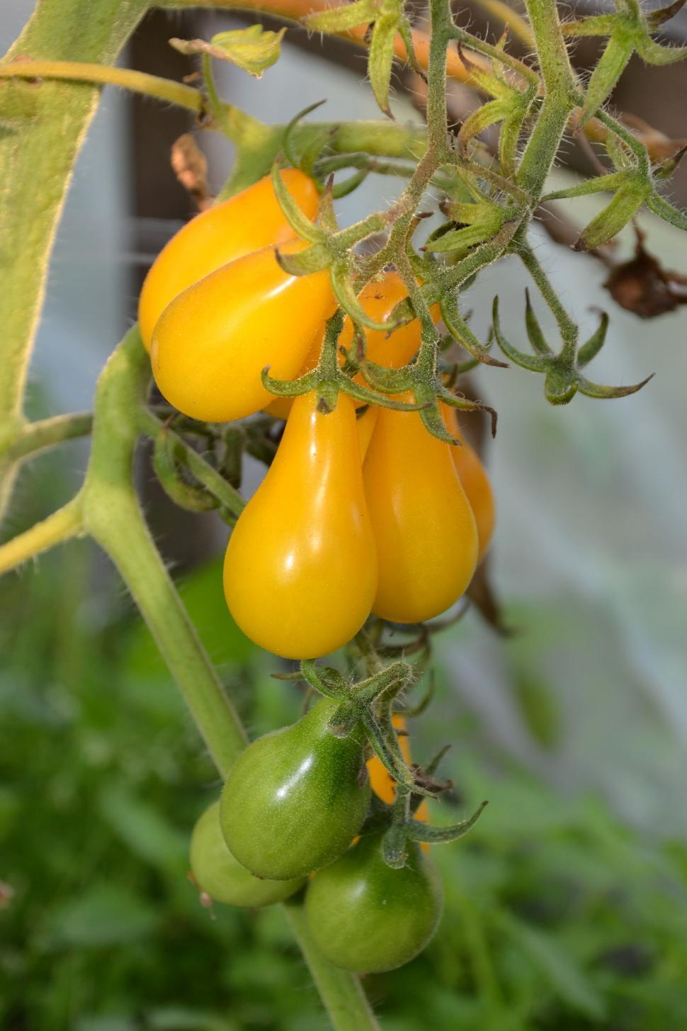 Download Free Stock HD Photo of Yellow plum tomatoes Online