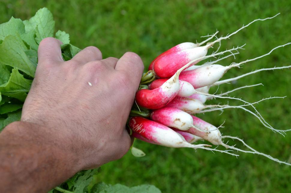 Download Free Stock HD Photo of Red radishes Online