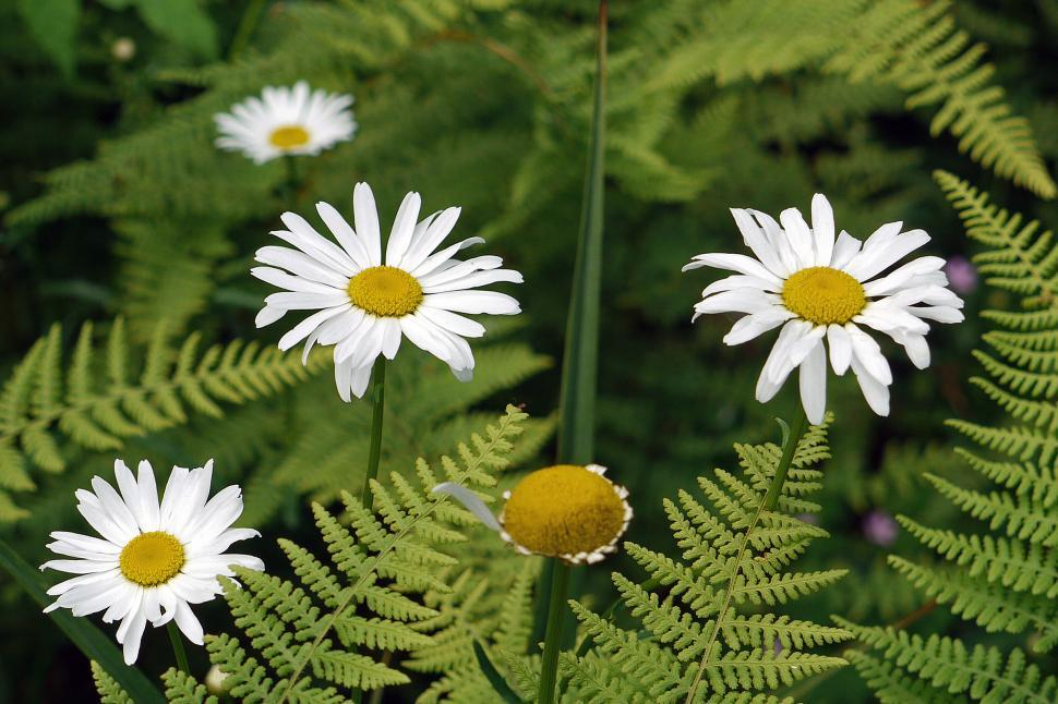 Download Free Stock HD Photo of White Daisies Online