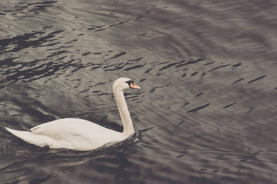 Download Free Stock HD Photo of Swan Online