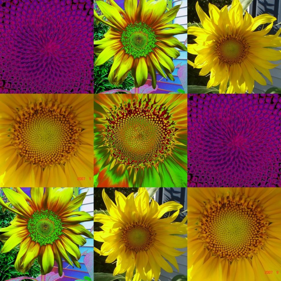 Get Free Stock Photos of Collage Sunflower Online | Download
