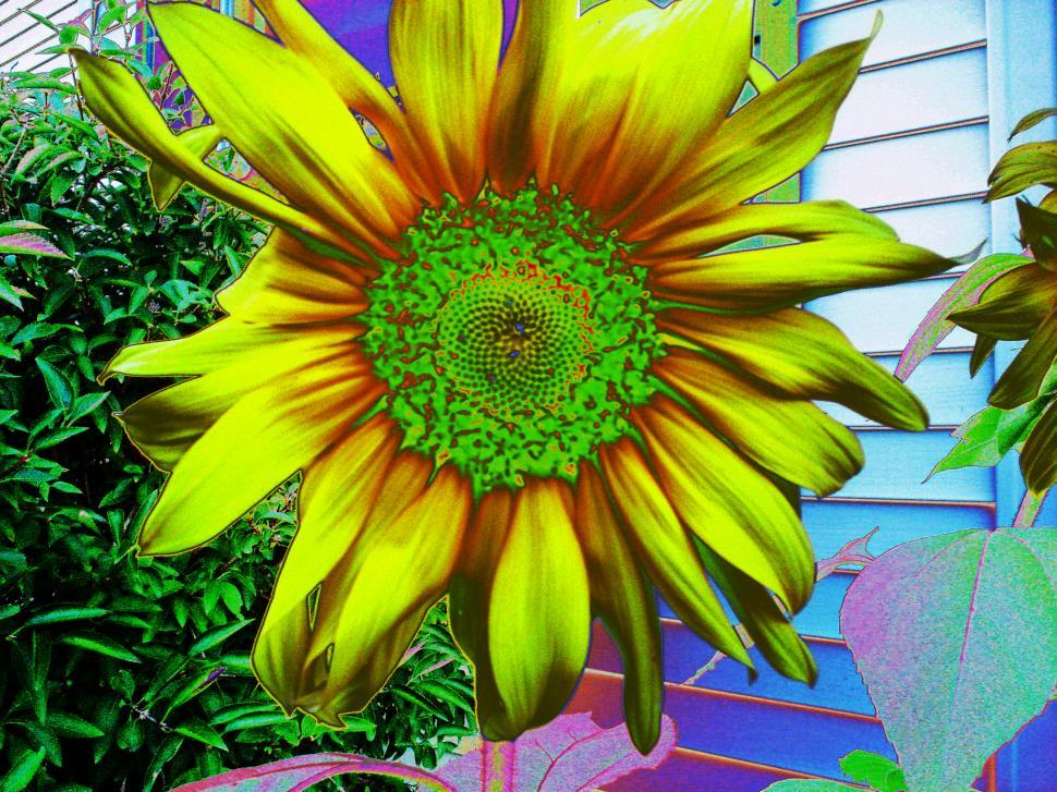 Download Free Stock HD Photo of Solar Sunflower Online