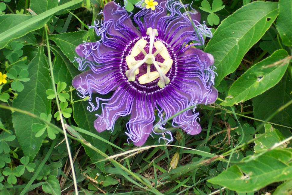 Download Free Stock HD Photo of Passion Flower Online
