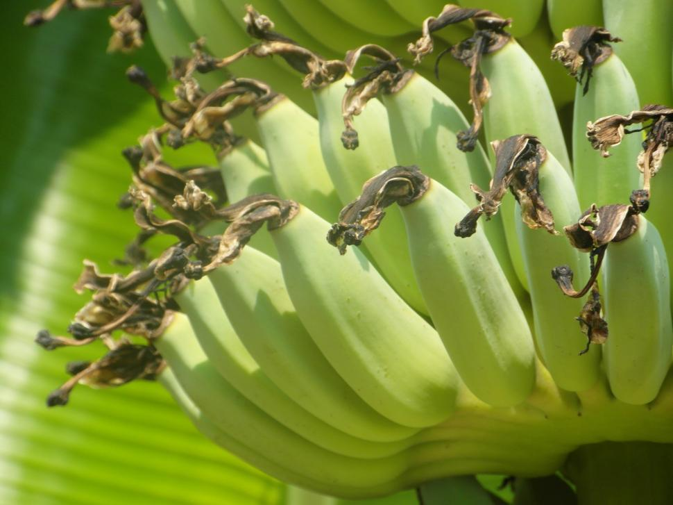 Download Free Stock HD Photo of Banana Bunch 2 Online
