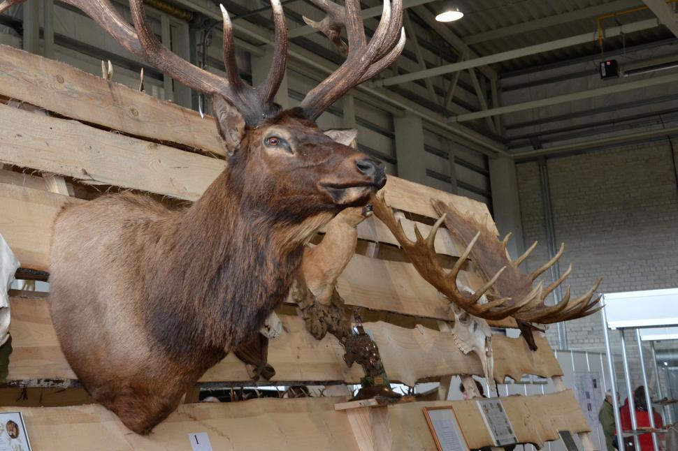 Download Free Stock HD Photo of Deer trophy head Online