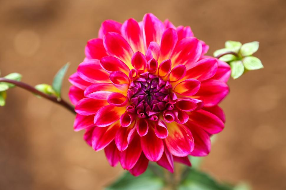Download Free Stock HD Photo of Dahlia Online
