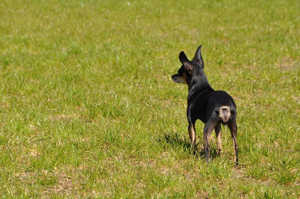 Download Free Stock HD Photo of Toy terrier Online