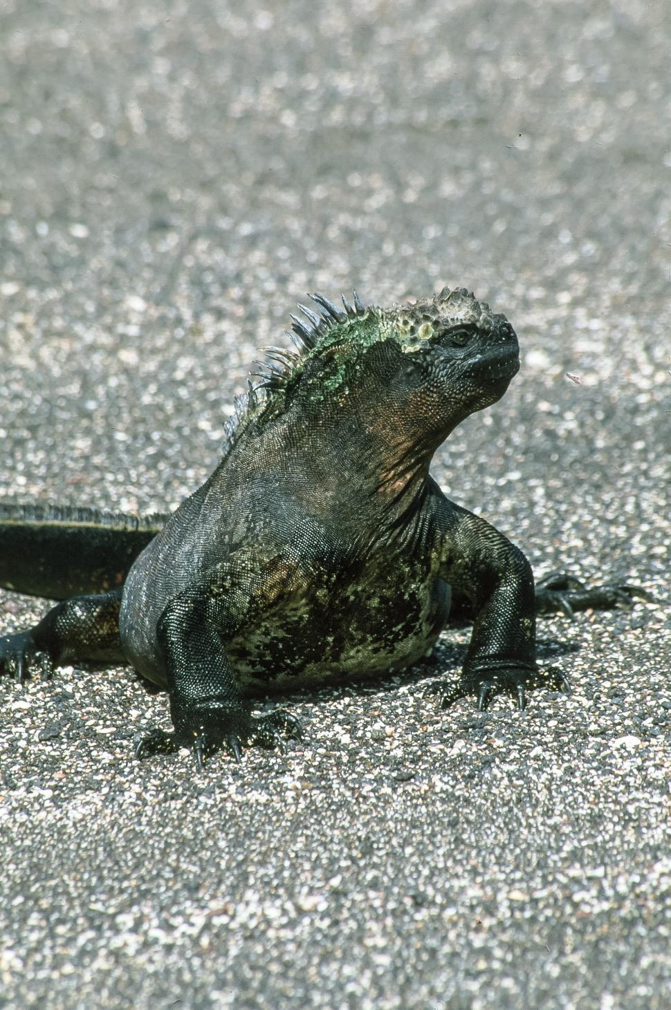 Free image of Iguana lizard in the Galapagos Islands