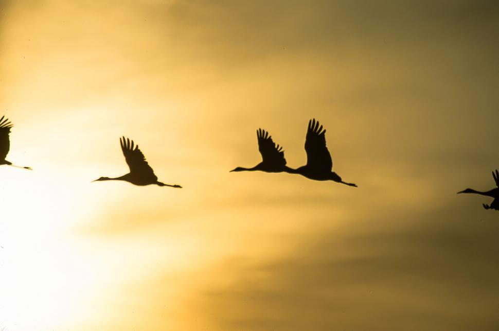 Free image of Silhouettes of birds flying at sunset.