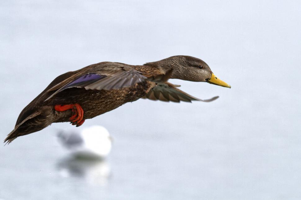 Download Free Stock HD Photo of Female mallard duck in flight Online