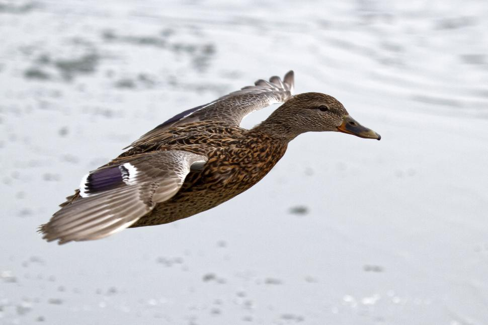 Download Free Stock HD Photo of Female mallard duck spreads wings Online