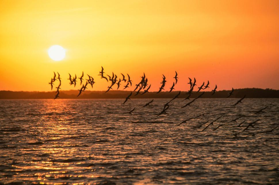 Free image of Silhouettes of skimmers flying at sunrise in the Chokoloskee Island Park.
