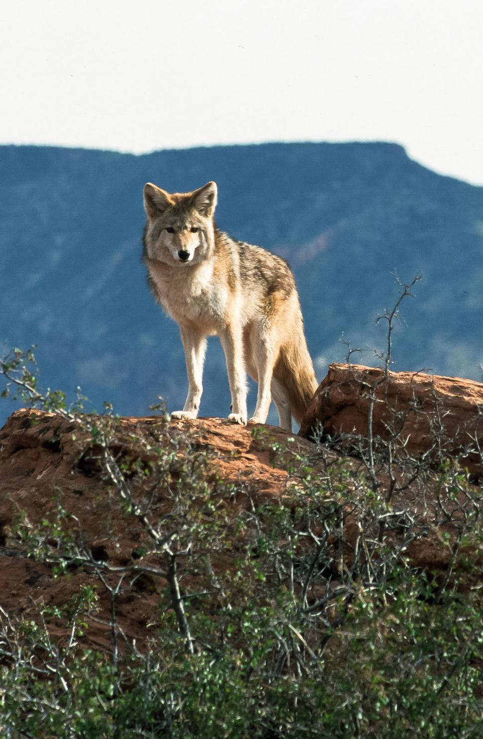 Download Free Stock HD Photo of Coyote in the Canyon Online