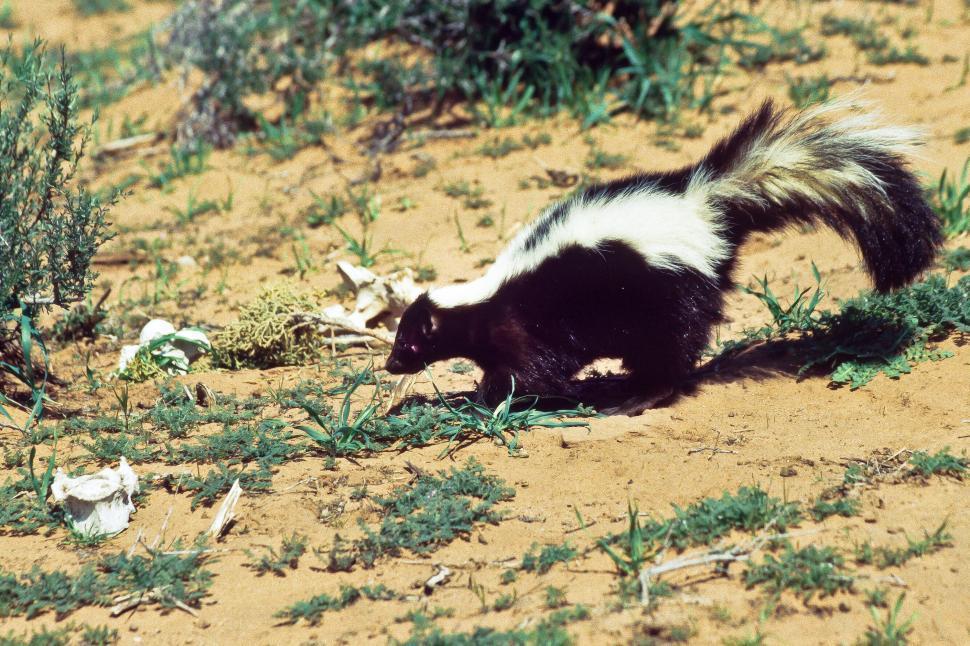 Download Free Stock HD Photo of Skunk Online