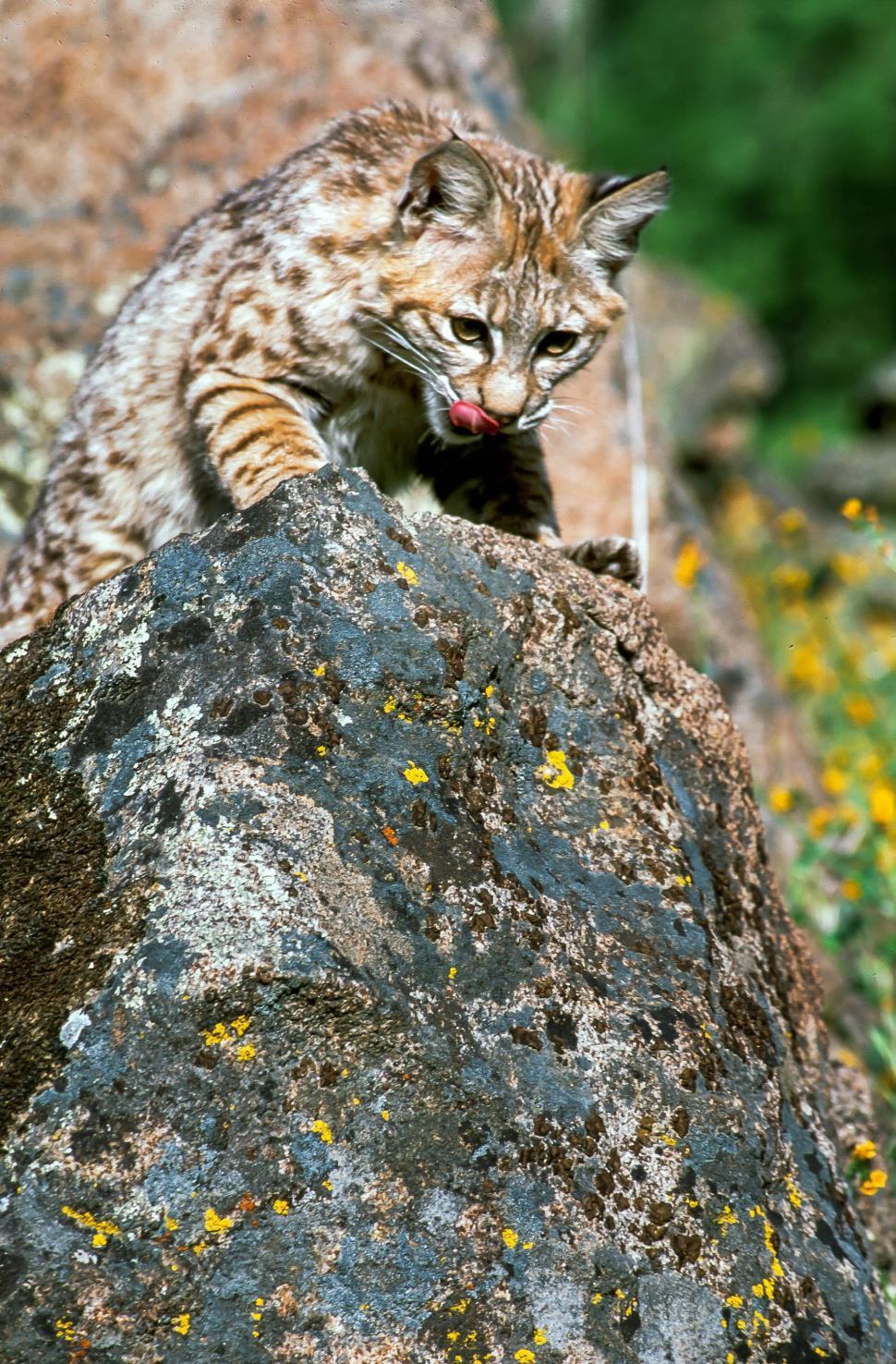 Download Free Stock HD Photo of Bobcat licks chops Online