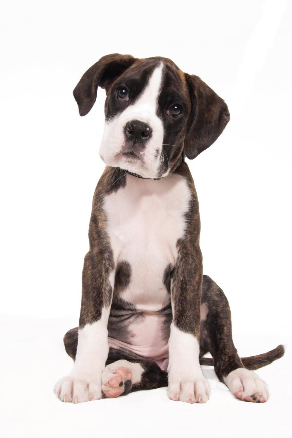 Download Free Stock HD Photo of boxer dog puppy, isolated over white background Online