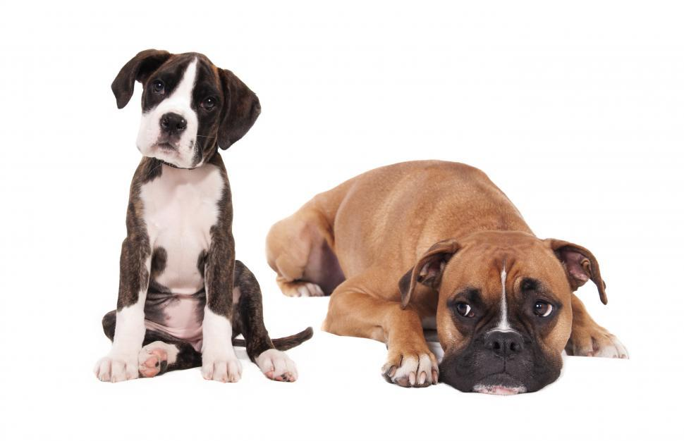Download Free Stock HD Photo of boxer puppy and adult dog on white backround Online