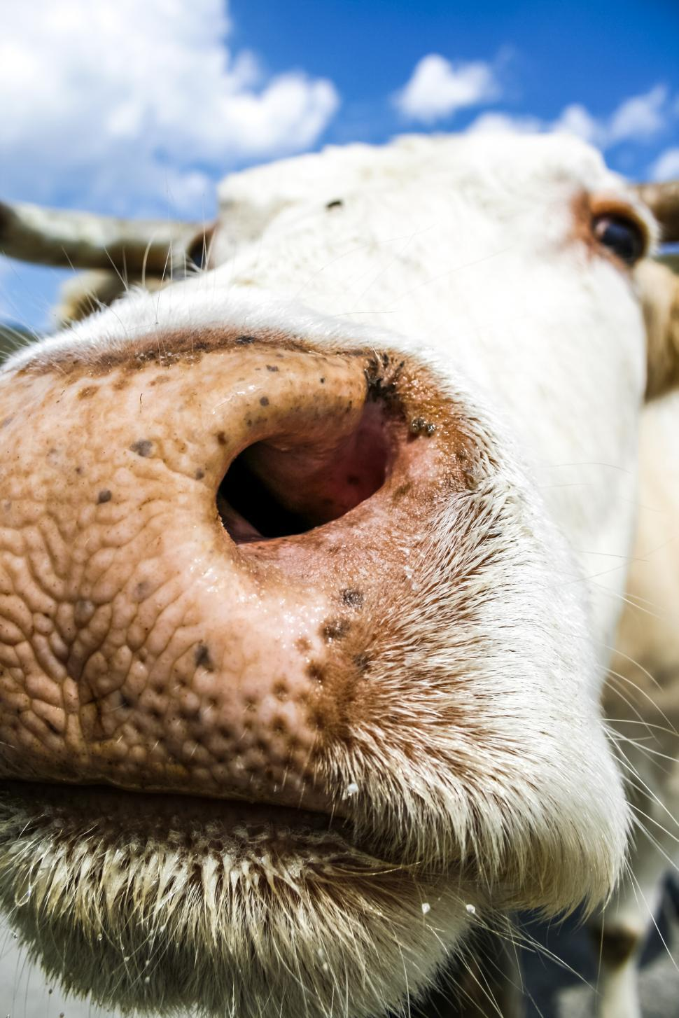 Download Free Stock HD Photo of cow muzzle close up Online